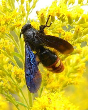 Blue-winged Wasp