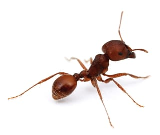 Red Harvester Ant