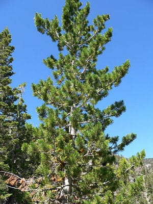Tree guide pajarito environmental education center limber pine mightylinksfo