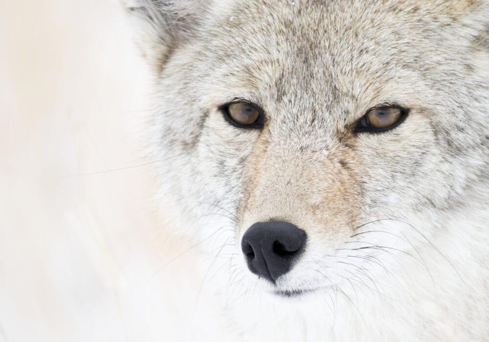 April 2015 Winner: Mouser Williams — Coyote