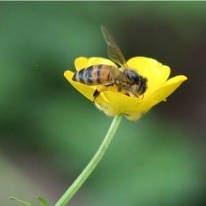 Bee visiting a buttercup. Photo by Selvi Viswanathan.