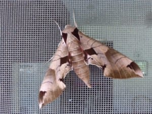 Hawk moth, a pollinator of the Sacred Datura. Photo by Paul White.