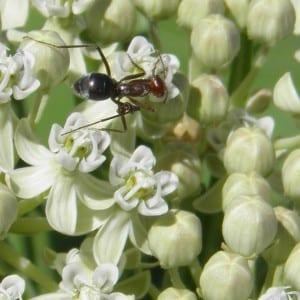 Ant on a Poison Milkweed (Asclepias subverticillata) Photo by Terry Foxx.