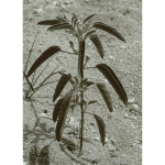 doveweed(600×600)