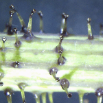 glandular_hairs(600×600)
