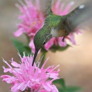 Hummingbird on a Beebalm (Monarda spp.) Photo by Selvi Viswanathan.