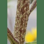 sunflower_stem(600×600)