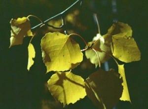 Aspen leaves shimmer gold in autumn.