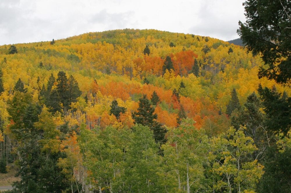 View of aspens in the Sangre de Cristos. Note the varying colors.