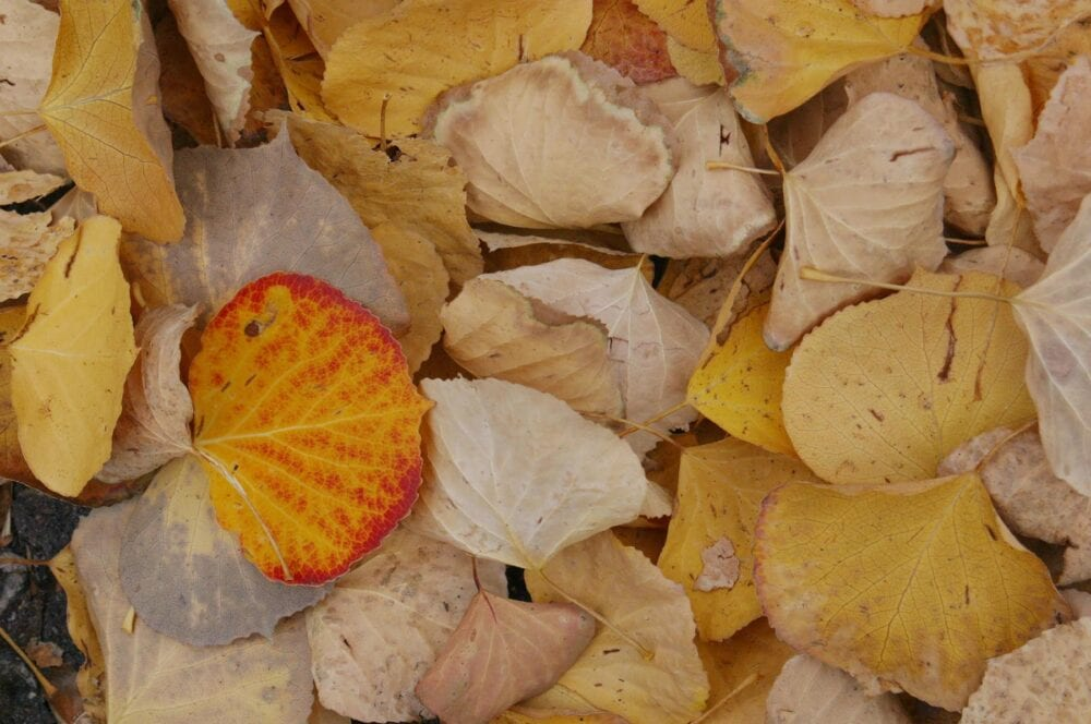 When leaves fall, decay replenishes the nutrients in the soil. Note the one bright leaf among the yellow.