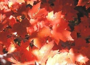 Maple trees become brilliantly red in the autumn.