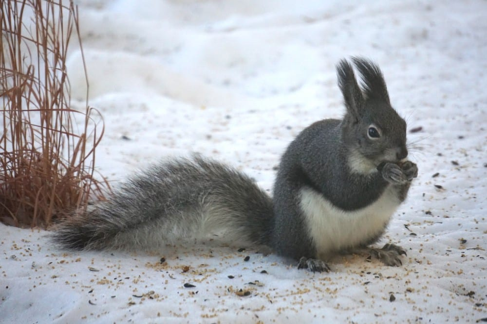 Abert's squirrel with winter ear tassels. Photo by Beth Cortwright