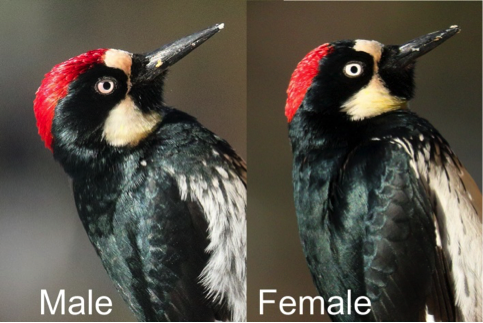 Comparison of a male and female Acorn Woodpecker