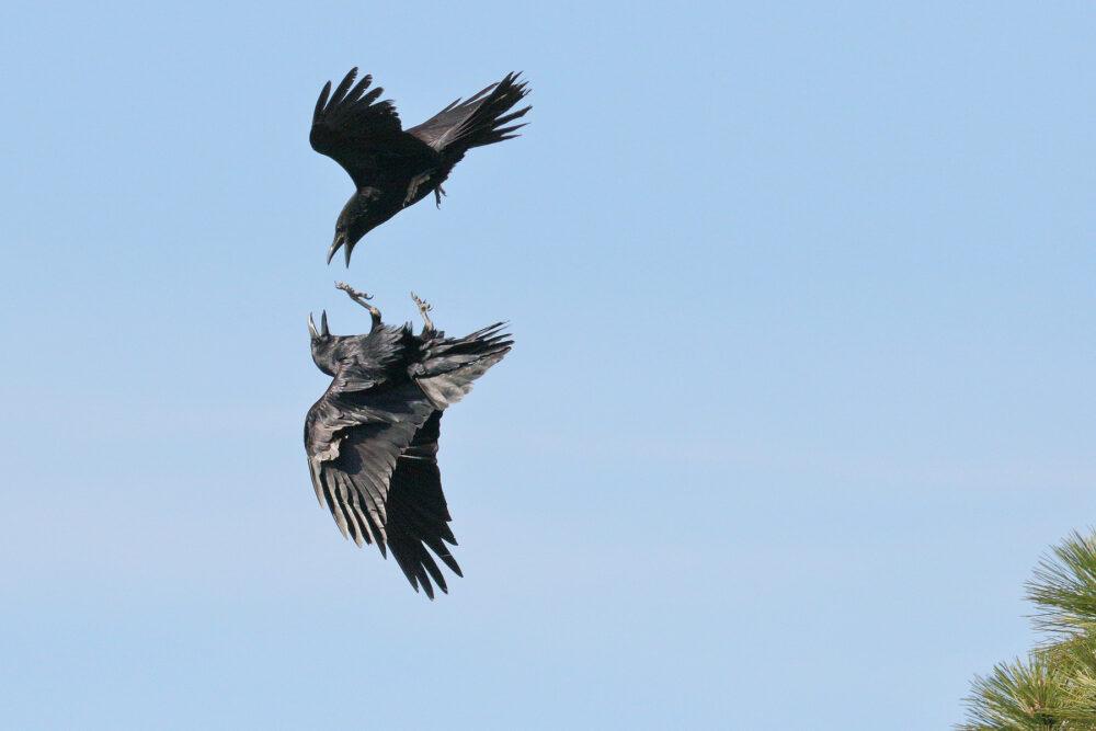 Bird Of The Week Common Ravens Pajarito Environmental Education Center
