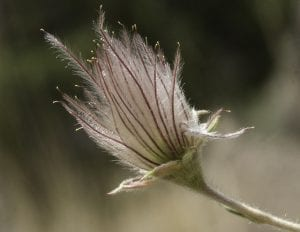 Apache Plume fruit