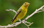Western Tanager by Bob Walker