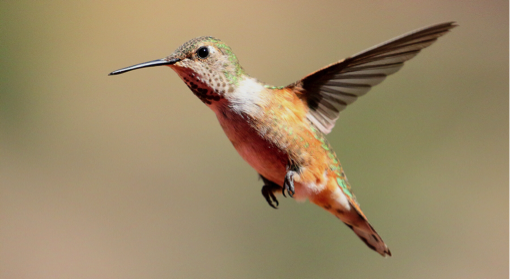 Female Rufous Hummingbird by Bob Walker