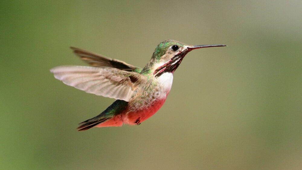 Winner_Bob_Calliope Hummingbird (Male) (2295)