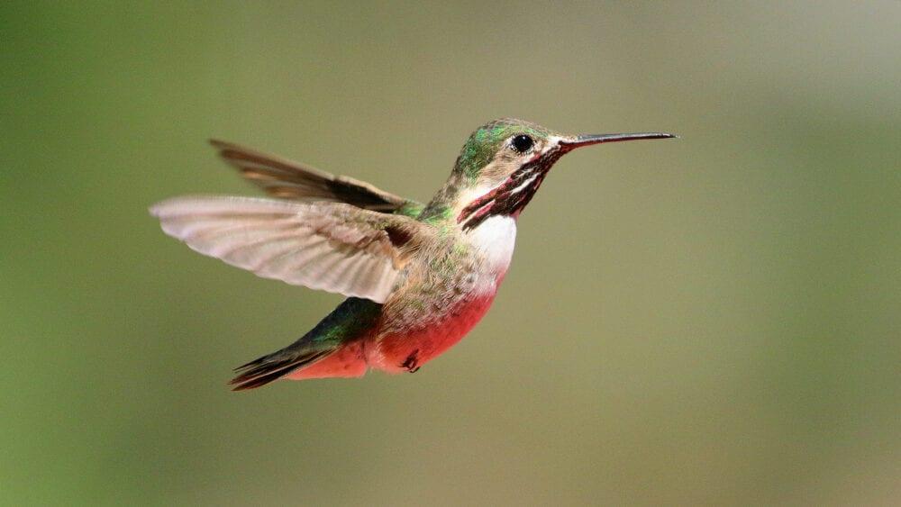 Winner_Bob_Calliope Hummingbird (Male) (2295)
