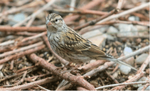 Juvenile Chipping Sparrow photo by Bob Walker.
