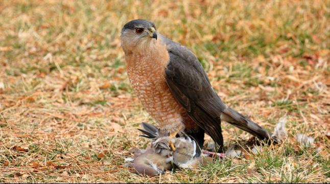 Bird Of The Week Cooper S Hawk