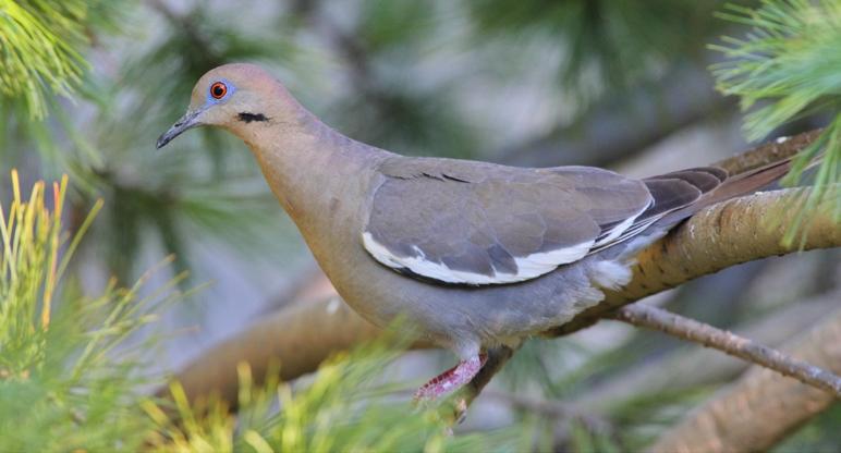 Dove Personality, Food & amp; Cuidado | Pet Birds de Lafeber Co.