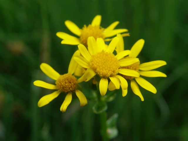 Wildflower of the week by chick keller pajarito environmental this week one of those little yellow flowers is blooming in the canyons and meadows near townsite it is new mexico goldenweed or groundsel packera mightylinksfo