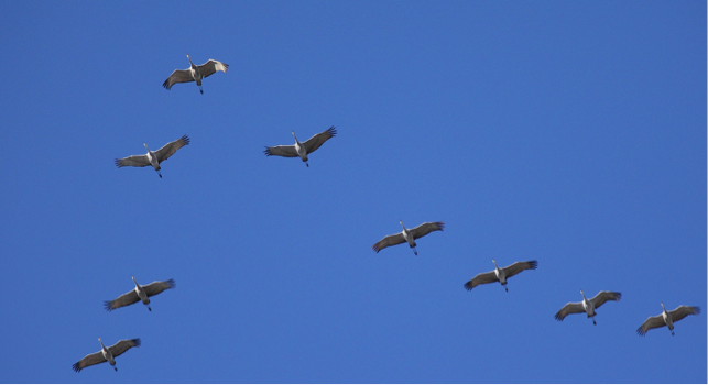 Bird of the Week – Sandhill Cranes – Pajarito Environmental ...