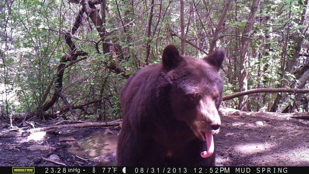 Description: C:\Users\sandi\Desktop\Bear\Bear tongue poss. F 2013.JPG