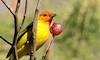 Male Western Tanager by Bob Walker