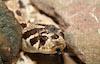 Foxxy the Hognose Snake